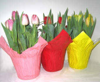 "6"" potted Tulips"