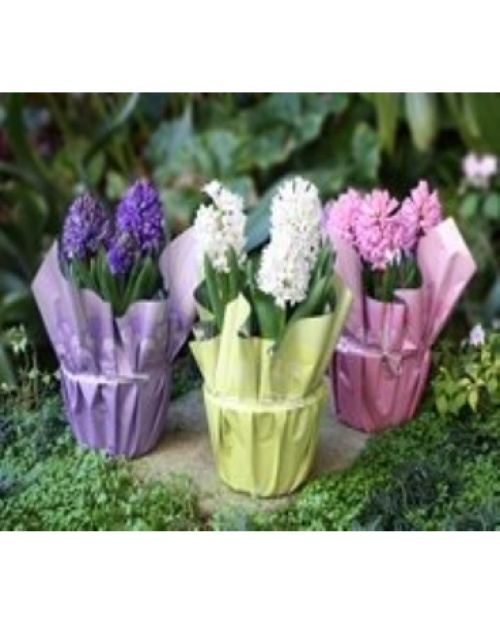 "6"" potted Hyacinth fragrant bulbs"